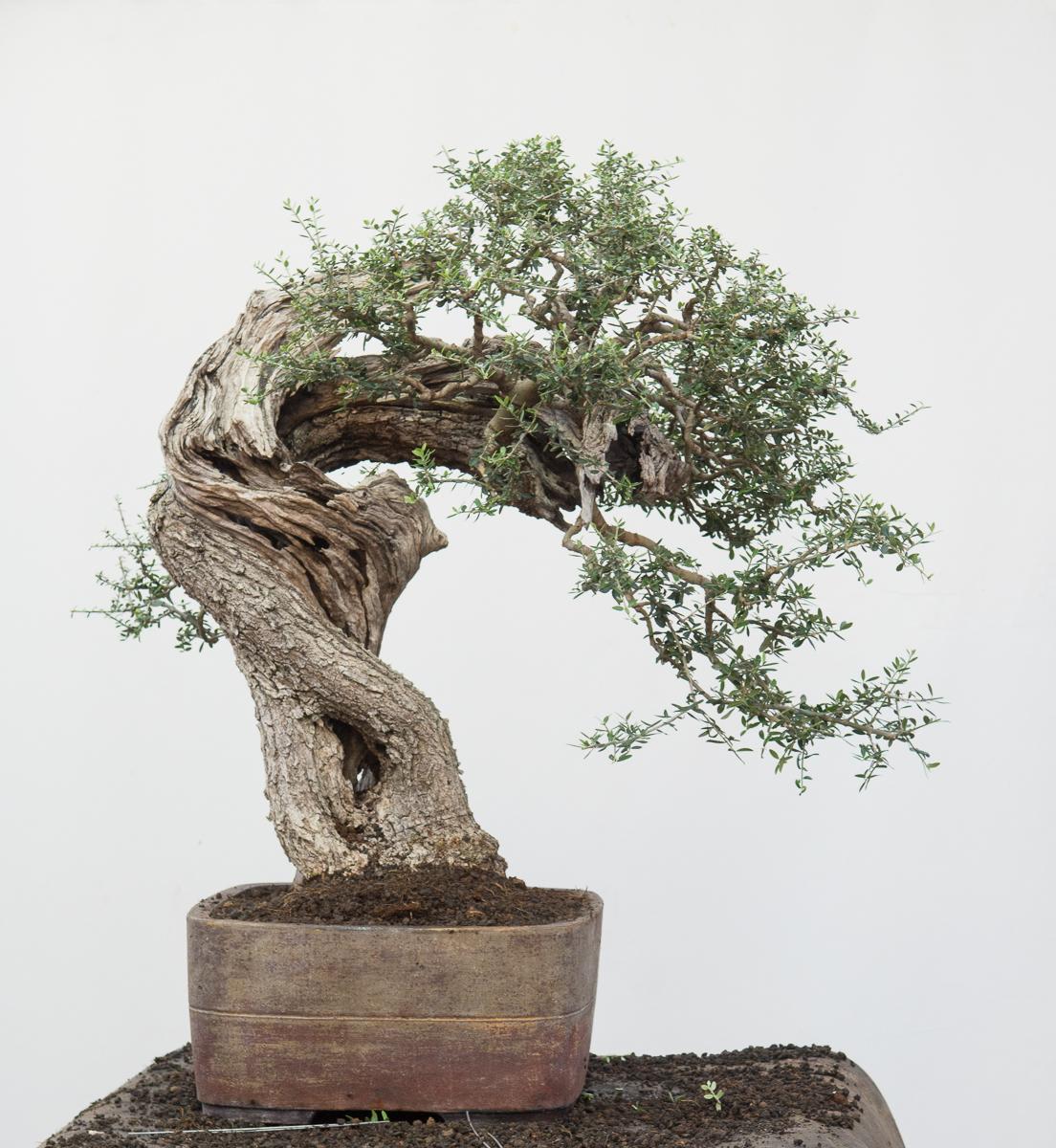 Olive - Olea Oleaster